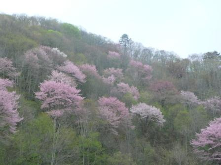 戸赤の山桜写真
