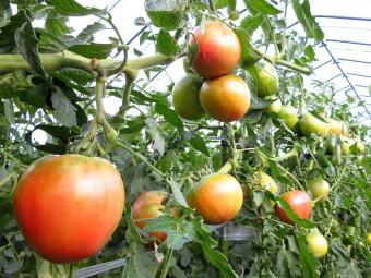 南郷トマト